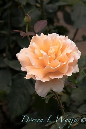 Rosa 'Just Joey' hybrid tea rose_3668