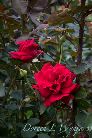 Rosa 'Firefighter' tea rose_3575