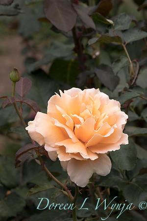 Rosa 'Just Joey' hybrid tea rose_3664