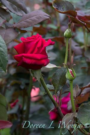 Rosa 'Firefighter' tea rose_3570
