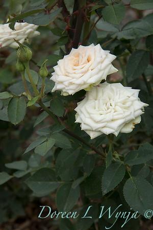 Rosa 'Irresistible' miniature rose_3627