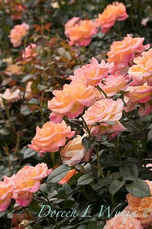 Rosa 'Day Breaker' floribunda rose_3717