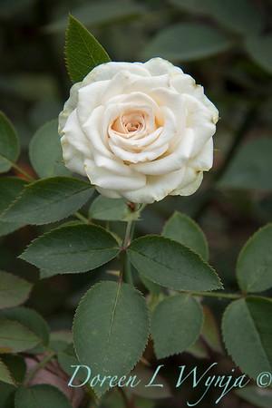 Rosa 'Irresistible' miniature rose_3633