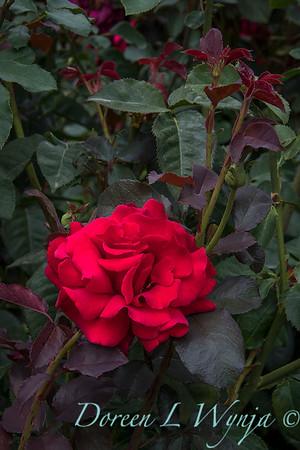 Rosa 'Firefighter' tea rose_3583