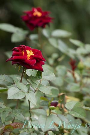 Rosa 'Black Jade' miniature rose_3651