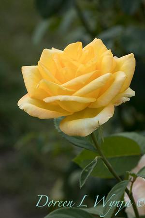 Rosa 'Gold Medal' grandiflora hybrid tea rose_3850