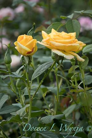 Rosa 'Gold Medal' grandiflora hybrid tea rose_3848