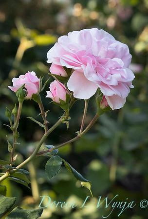 Rosa 'Bonica' shrub rose_3751