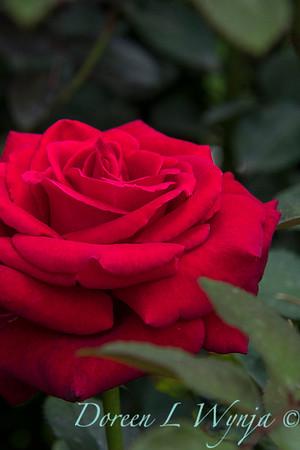 Rosa 'Firefighter' tea rose_3560