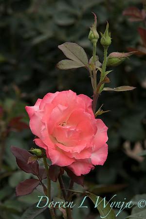 Rosa 'Gemini' hybrid tea rose_3606