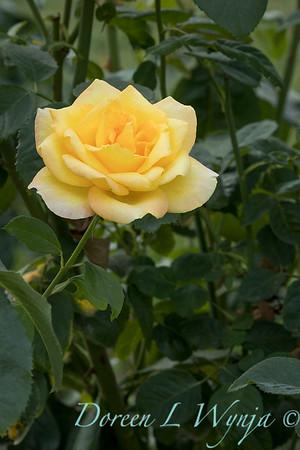 Rosa 'Gold Medal' grandiflora hybrid tea rose_3841