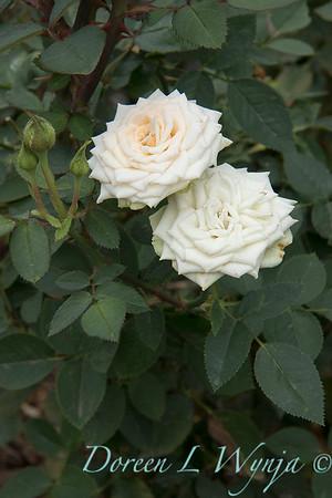 Rosa 'Irresistible' miniature rose_3624