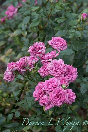 Rosa 'Lavender Jewel' miniature rose_3654
