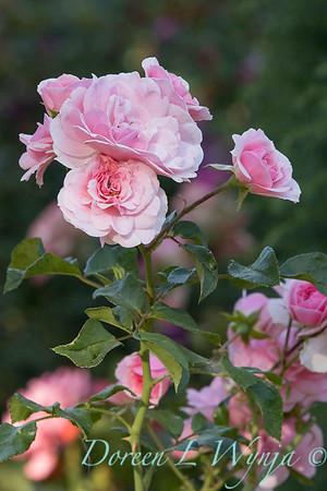 Rosa 'Bonica' shrub rose_3746