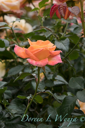 Rosa 'Day Breaker' floribunda rose_3713
