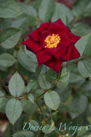 Rosa 'Black Jade' miniature rose_3636