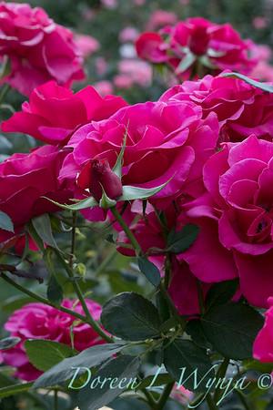 Rosa 'Fame' grandiflora hybrid tea rose_3802