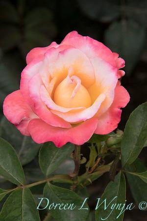 Rosa 'Gemini' hybrid tea rose_3611