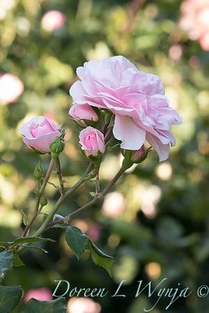 Rosa 'Bonica' shrub rose_3748