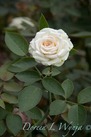 Rosa 'Irresistible' miniature rose_3630