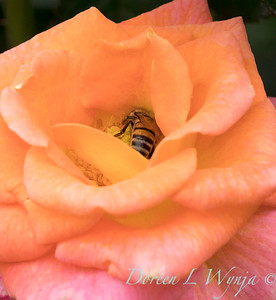 Rosa 'Day Breaker' floribunda rose_3706