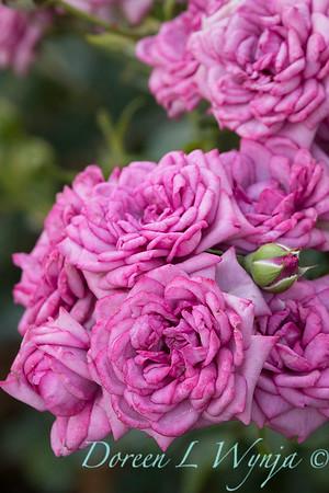 Rosa 'Lavender Jewel' miniature rose_3662Rosa 'Lavender Jewel' miniature rose_3668