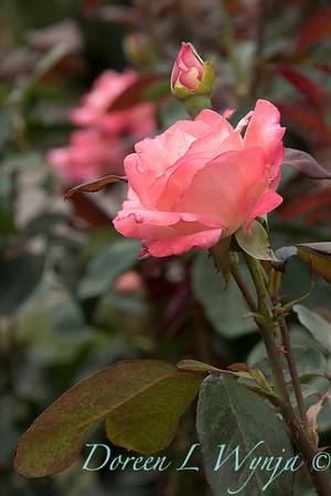 Rosa 'Gemini' hybrid tea rose_3622