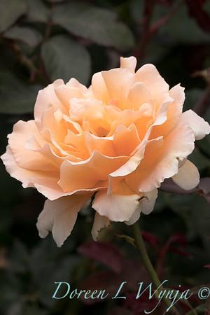Rosa 'Just Joey' hybrid tea rose_3672