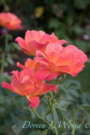 Rosa 'Livin' Easy' floribunda rose_3814