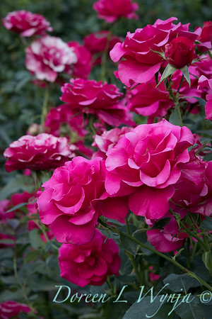 Rosa 'Fame' grandiflora hybrid tea rose_3789