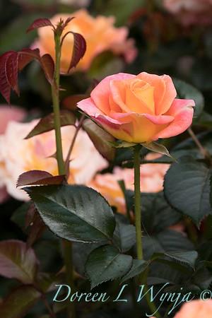 Rosa 'Day Breaker' floribunda rose_3727