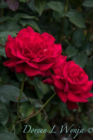 Rosa 'Firefighter' tea rose_3566