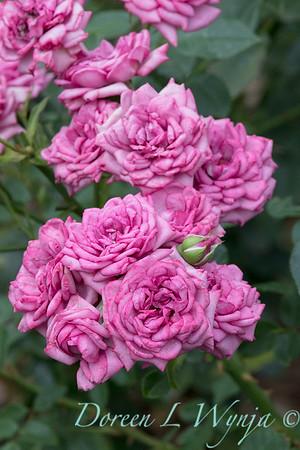 Rosa 'Lavender Jewel' miniature rose_3660