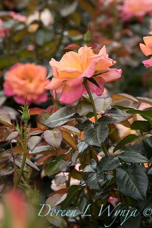 Rosa 'Day Breaker' floribunda rose_3715