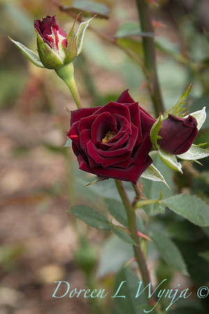 Rosa 'Black Jade' miniature rose_3641