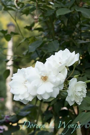 Rosa 'Bolero' floribunda rose_3716