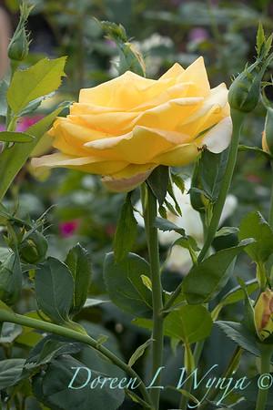 Rosa 'Gold Medal' grandiflora hybrid tea rose_3839