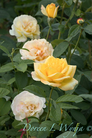 Rosa 'Gold Medal' grandiflora hybrid tea rose_3845