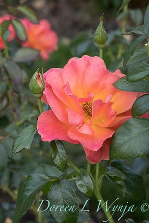 Rosa 'Livin' Easy' floribunda rose_3817