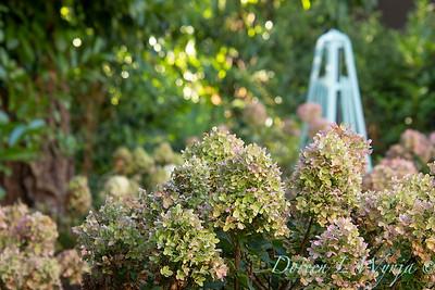 41832 Hydrangea paniculata 'SMHPCW' Strawberry Shake_5137