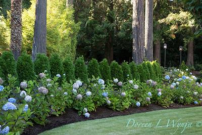 9275 Hydrangea macrophylla 'Monmar' Blue Enchantress - 7301 Thuja occidentalis 'Smaragd' Emerald Green hedge_5197