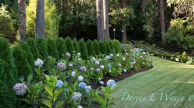 9275 Hydrangea macrophylla 'Monmar' Blue Enchantress - 7301 Thuja occidentalis 'Smaragd' Emerald Green hedge_5199