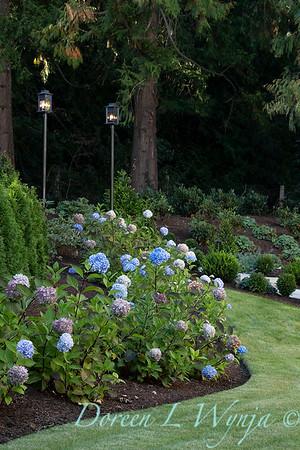 9275 Hydrangea macrophylla 'Monmar' Blue Enchantress_5175