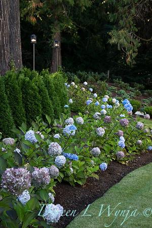 9275 Hydrangea macrophylla 'Monmar' Blue Enchantress - 7301 Thuja occidentalis 'Smaragd' Emerald Green hedge_5192