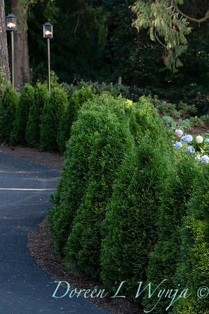 7301 Thuja occidentalis 'Smaragd' Emerald Green hedge_5204