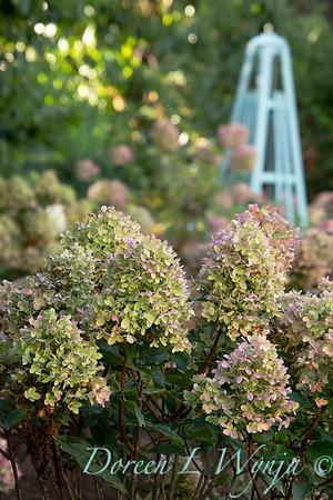 41832 Hydrangea paniculata 'SMHPCW' Strawberry Shake_5136