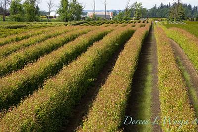 Acer ginnala 'Flame' field grown_5533