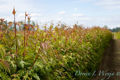 Acer ginnala 'Flame' field grown_5522