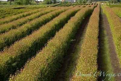 Acer ginnala 'Flame' field grown_5530