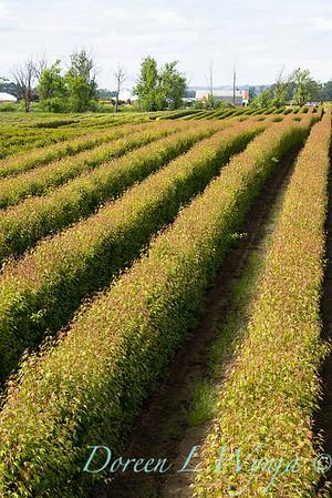 Acer ginnala 'Flame' field grown_5532